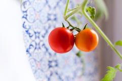 Selbst gemachte Tomate auf einer Niederlassung Lizenzfreie Stockfotografie