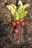 Selbstgezogene Rettiche nach Ernte im Garten stockbild