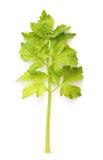 Selderie groen blad Royalty-vrije Stock Afbeelding