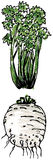 Selderie - wortel en bladeren Royalty-vrije Stock Afbeeldingen