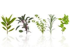 Seleção da folha da erva Foto de Stock