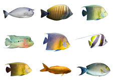 Seleção dos peixes corais tropicais isolados Foto de Stock Royalty Free