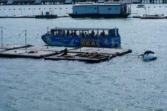 Sele selos de observação do barco da excursão em San Diego Bay, Califórnia Foto de Stock