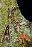 Selección de halcón-polillas británicas Varias especies de polillas británicas grandes en el Sphingidae de la familia imagen de archivo