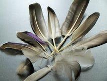 Selección de plumas que encontré en el bosque en los parques Nottingham Reino Unido del centro Imagen de archivo