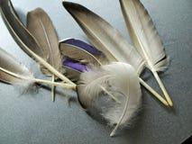 Selección de plumas que encontré en el bosque en los parques Nottingham Reino Unido del centro Fotografía de archivo libre de regalías