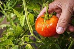 Selección de un tomate del rasgón de la vid Foto de archivo libre de regalías