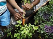 Selección de una zanahoria de bebé en un jardín Imagen de archivo