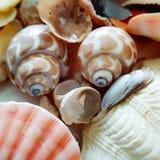 Selección hermosa de cáscaras inusuales de la playa Fotografía de archivo libre de regalías