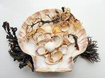 Selección hermosa de cáscaras y de alga marina inusuales de la playa Imagen de archivo libre de regalías