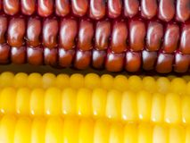 Select focus of brown and yellow corn. Nature for texture background.  Royalty Free Stock Photos