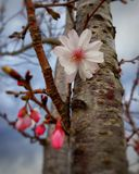 Select focus cherry blossom Stock Images