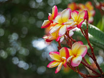 Select focus Frangipani Plumeria flowers border Design Royalty Free Stock Images