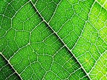 Select focus of green leaf texture macro. Useful as background Stock Images