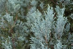 Pine leaves background. Select focus pine leaves background Stock Image