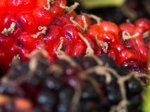 Select focus of red and purple Mulberry the background is a group of mulberries. Steam is attached to the mulberry. Concept ofSele. Select focus of red and stock images