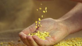 Select high quality dried split peas dropping in proud farmer's hand, slowmotion. Stock footage stock video