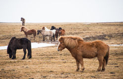 Selected focus on front icelandic horse. This is a photo of  selected focus on front icelandic horse in iceland Royalty Free Stock Photo
