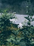 Selected Focus Photo of White Petaled Flowers With Green Leaf royalty free stock image