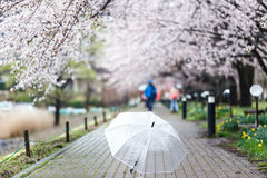 Selected focus on transparent umbrella on Cherry Blossom Path at Stock Photos