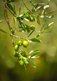 Selected olives, olive oil, Andalusia, Spain Royalty Free Stock Images