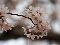 Selecteer nadruk Sakura Kersenbloesem in de lente Mooie roze bloemen Stock Afbeeldingen