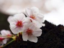 Selecteer nadruk Sakura Kersenbloesem in de lente Mooie roze bloemen Stock Foto