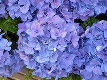 Selectie van blauwe hydrangea hortensiahoofden met groen gebladerte stock afbeelding