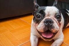Selectie van /Focus van honden de Franse Buldoggen Stock Foto