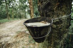 selectief die nadrukbeeld van latex uit rubberboom voor de natuurrubberindustrieën wordt gehaald royalty-vrije stock foto's