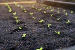 Selectief van groene zaailing, Close-up van kleine jonge boompjes in tuin Royalty-vrije Stock Fotografie
