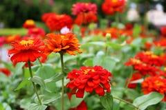 Selectieve Dichte omhoog Rode Kleuren van Zinnia Elegans Flower op groene bladerenachtergrond in de tuin Royalty-vrije Stock Foto