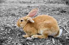 Selectieve kleur aan dit leuke konijntjeskonijn royalty-vrije stock fotografie