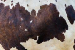 Selectieve nadruk echte Bruine en witte koe Royalty-vrije Stock Foto's