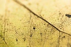 Selectieve nadruk op venation van gele blad macro dichte omhooggaande, abstracte creatieve achtergrond stock fotografie