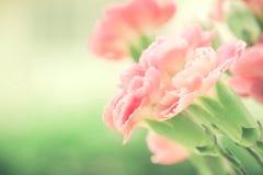 Selectieve nadruk van dichte omhoog zoete roze anjerbloemen stock afbeeldingen