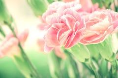Selectieve nadruk van dichte omhoog zoete roze anjerbloemen Royalty-vrije Stock Afbeeldingen