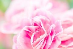 Selectieve nadruk van dichte omhoog zoete roze anjerbloemen Stock Fotografie