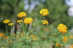Selectieve nadruk van goudsbloembloemen stock foto's