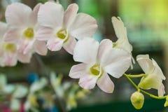 Selectieve nadruk witte orchidee in tuin Royalty-vrije Stock Foto's