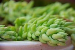 Selectieve staart van het bladgoud Succulente Burros van close-upsedum de Fijne geconcentreerd in aarden pot stock afbeeldingen