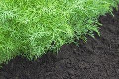 Selectieve zachte nadruk Kruid, keuken-tuin met jonge groene dilleinstallaties Foto van dilleoogst voor de zaken van het ecokoken Royalty-vrije Stock Foto