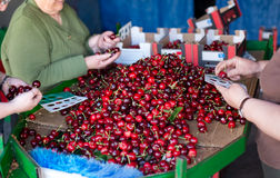 Selecting fresh cherries in Valle del Jerte, Extremadura. Spain. Royalty Free Stock Photography