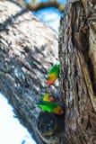 Selecting nest. Lovebird. Serengeti. Selecting nest. Lovebird. Three birds on tree. Serengeti, Africa Royalty Free Stock Images