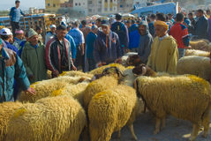 Selecting a sheep for the sacrifice of Eid al-Adha. Shopping for a sheep to sacrifice for Eid al-Adha in the sheep souk (market) in Fez, Morocco Royalty Free Stock Photos