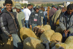 Selecting a sheep for the sacrifice of Eid al-Adha Royalty Free Stock Images