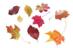 Selection of autumn leaves in various shapes. Selection of individual autumn leaves in various shapes and bright colors marking the changing of the seasons Royalty Free Stock Photo