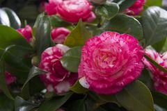 Beautiful Camellias blooming with dark green leaves. Selection of beautiful Camellias blooming with dark green leaves Royalty Free Stock Photography
