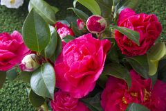 Beautiful Camellias blooming with dark green leaves. Royalty Free Stock Image