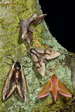Selection of British hawk-moths. Several species of large british moths in the family Sphingidae Stock Image